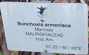 Bunchosia_armeniaca
