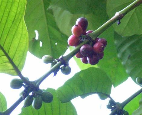 Coffea_canephora1s_1