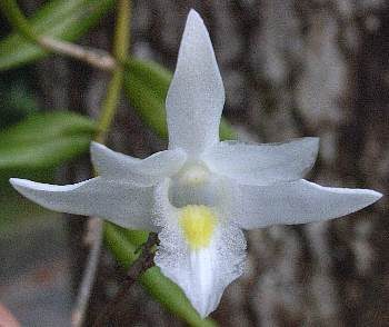 Dendrobium_crumenatum13s