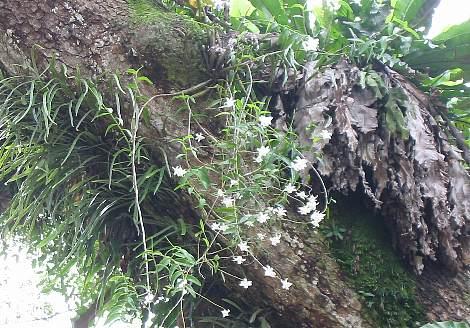 Dendrobium_crumenatum2s