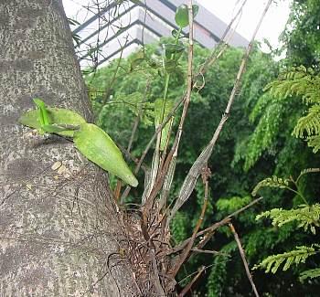 Dendrobium_crumenatum9s