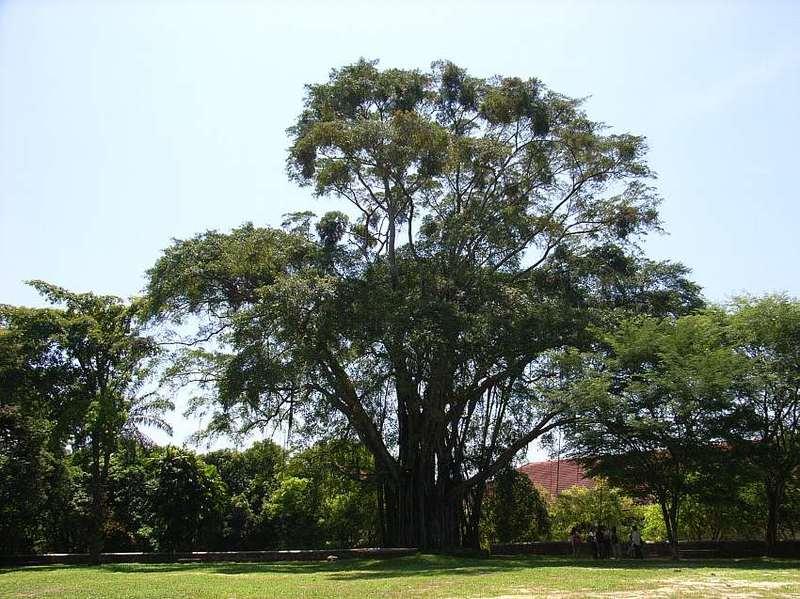 Ficus_benjamina1s