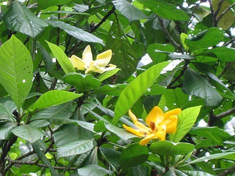 Gardenia_carinata1s