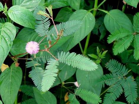 Mimosa_pudica1s