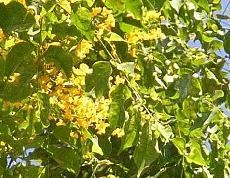 Pterocarpus_indicus1s