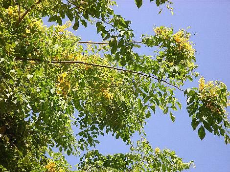 Pterocarpus_indicus4s