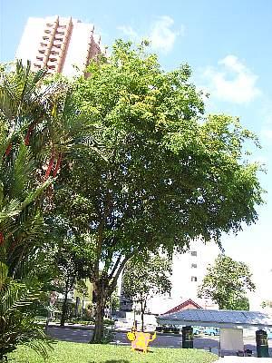 Pterocarpus_indicus5s