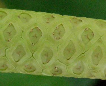 Spathiphyllum_cv3s_1