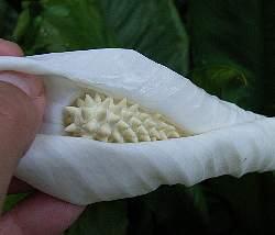 Spathiphyllum_cv5s