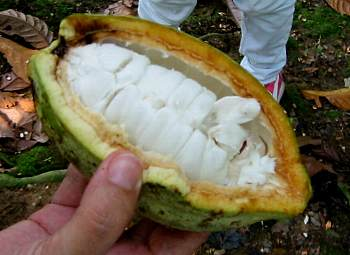 Theobroma_cacao2s