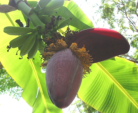 banana-1s