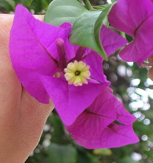 bougainvillea_sp