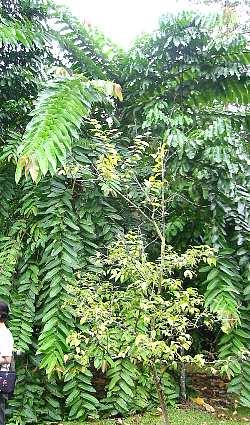 duabanga_grandiflora1s