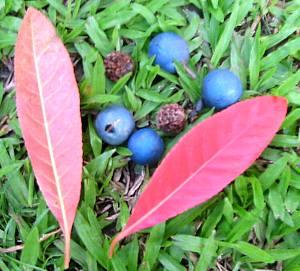 elaeocarpus_angustifolius2s