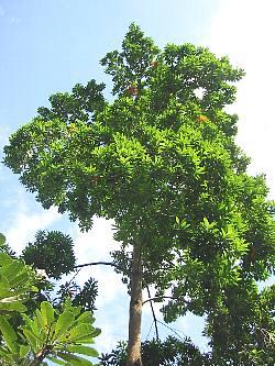 elaeocarpus_angustifolius3s
