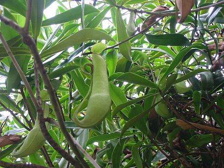 nepenthes_gracilis1s