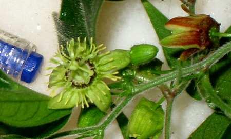 passiflora_suberosa1s2