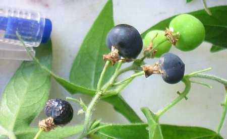 passiflora_suberosa3s