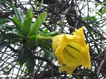 solandra_longiflora1s