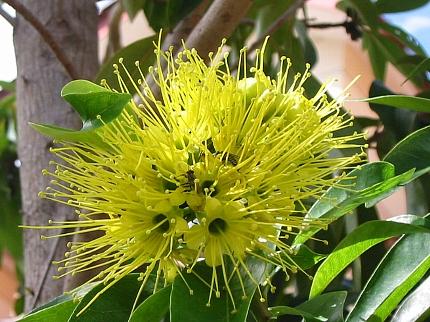 xanthostemon_chrysanthus1s