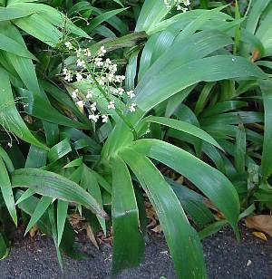 xiphidium_caeruleum1s
