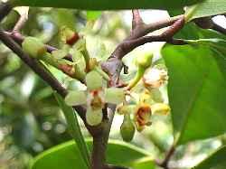 xylocarpus_granatum1s