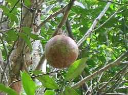 xylocarpus_granatum5s